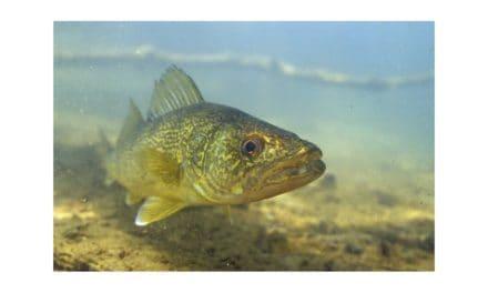 Les poissons du lac-des-Îles