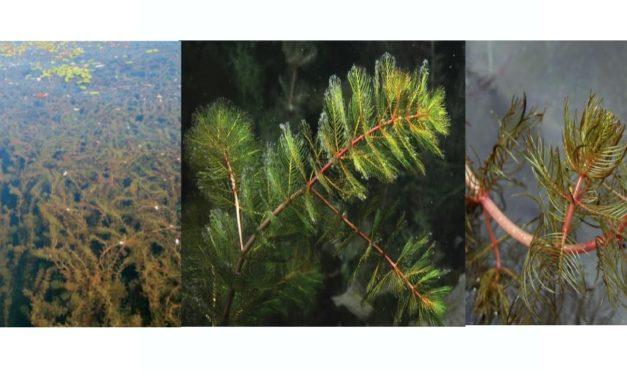 Le myriophylle en épi : une plante très envahissante
