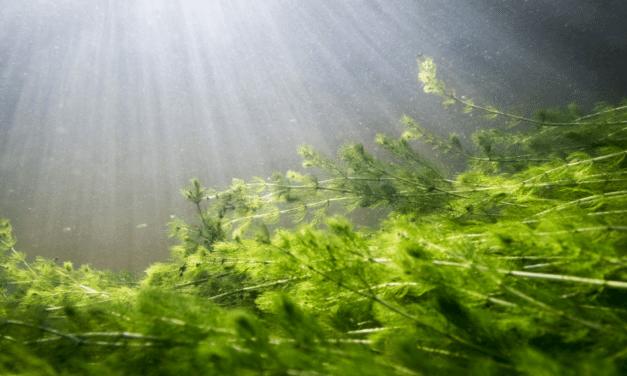 Myriophylle à épi, nos lacs et la navigation